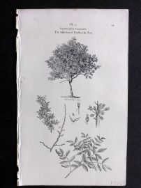 John Loudon 1838 Antique Botanical Tree Print. Ash-Leaved Tooth-Ache Tree